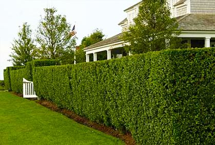 Best Types Of Hedges For Landscaping Designs Pictures Ideas Privacy Landscaping Privet Hedge Hedges