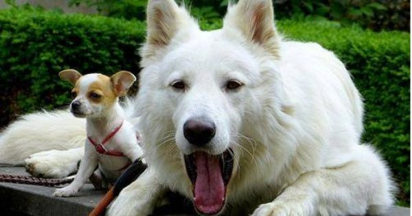 Life Span Of White German Shepherd Click The Picture To Read