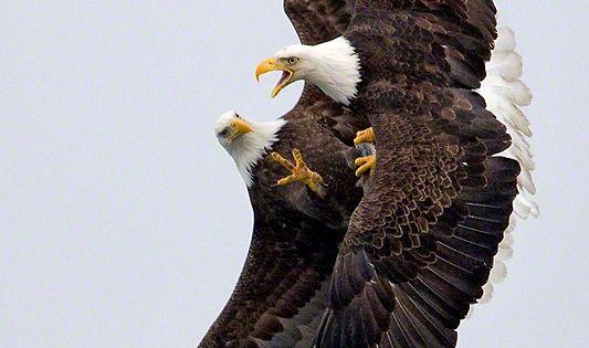 Bald eagles fight over a fish in midair near Homer, Alaska. I