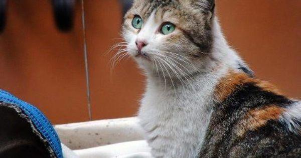 قطة دمشقية حلوة Animais