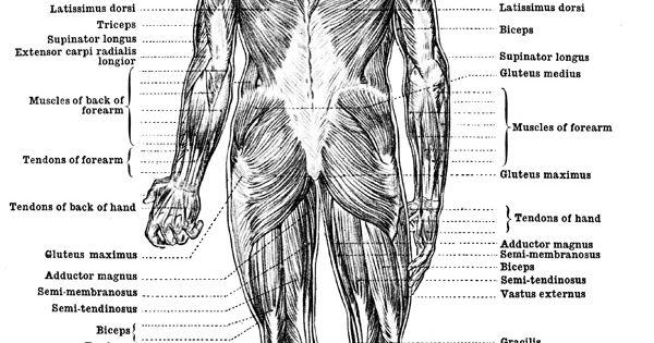 Human Anatomy Muscles ...