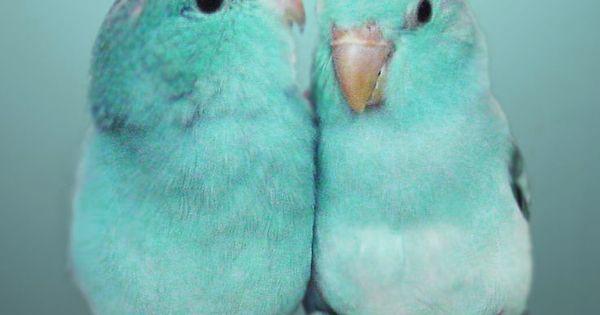 Parrotlet babies awwwww ♥