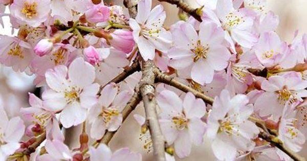 Cherry Blossom Season Begins In Japan Cherry Blossom Season Blossom Cherry Blossom Japan