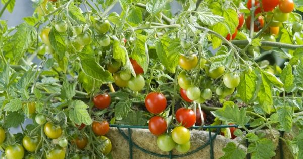hanging fruit basket are tomatoes fruits or vegetables