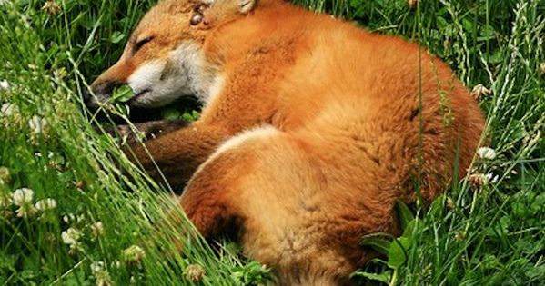 #animal fox nap