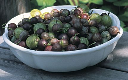 Gooseberries Varieties And Pruning Hybridization Has Improved The Flavor Of Gooseberries And As Gooseberry Varieties Growing Fruit How To Grow Gooseberries