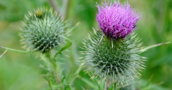 THISTLE. meaning: misanthropy | flowers & their meanings ...