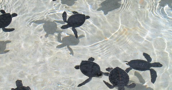 Baby Turtles by Mark Blacknell ( West Bay, Grand Cayman, KY )