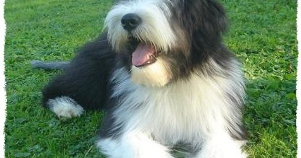 Bearded Collie Clipped Google Search Bearded Collie Bearded