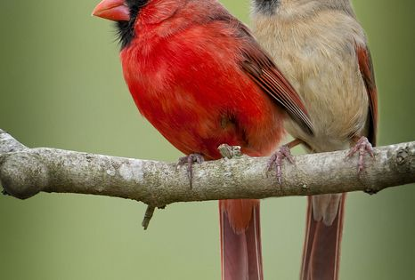 Male and female cardinals- go red birds