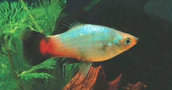 Variedades Platys Juan Luis Aquarium Fish Fish Tropical Fish