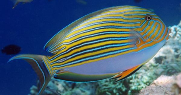Clown Tang Extremely Territorial Usually The Last Of The Tangs To Be Placed In The Aquarium Display Saltwater Fish Tanks Sea Fish Beautiful Sea Creatures