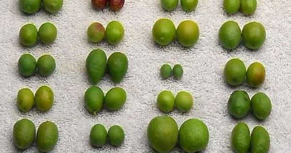 Chart Of Olive Sizes Grown At Oregon Olives In Amity