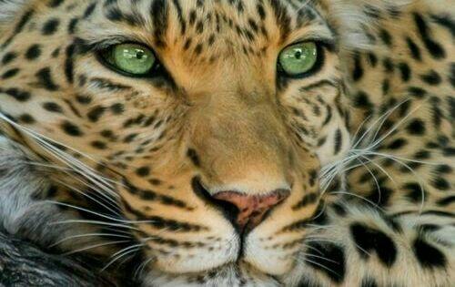 Look into my beautiful green eyes......Leopard Animals