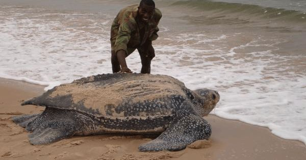 "Leatherback Turtle: ""The largest living reptiles on Earth. The only sea turtle"