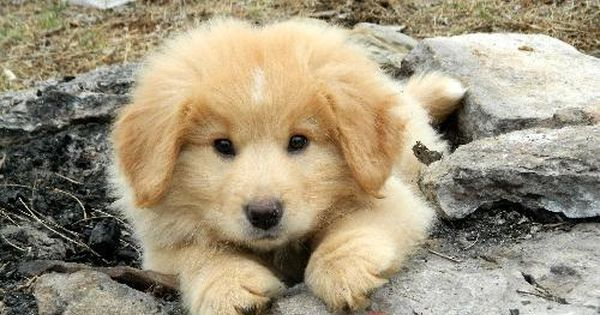 Puppy Sugar Bear Is An Adoptable Golden Retriever Chow Chow Dog