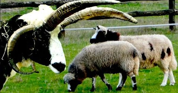 Alte Nutztierrassen Folge 117 Jakobschafe Vierhornschafe Jacob Sheep Film Gescheckte Schafe Youtube Sheep Breeds Animals Angora Goats