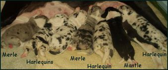 Colors Merle Harlequin And Mantle Great Dane Puppies The Fawn