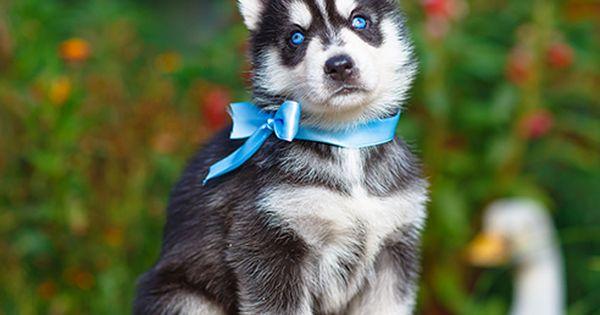 Pin Em Loyal Siberian Husky