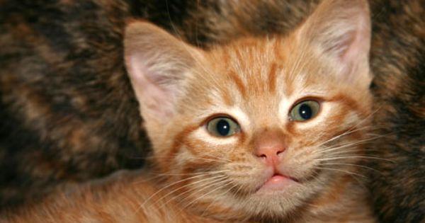 Kitten Adoption San Diego Adopt A Kitten Kitten Adoption Kittens Cute Animals