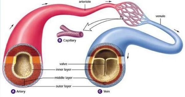 Difference Betwen Scafolding Amp Shuttering : Arteries vs veins i can keep you alive pinterest