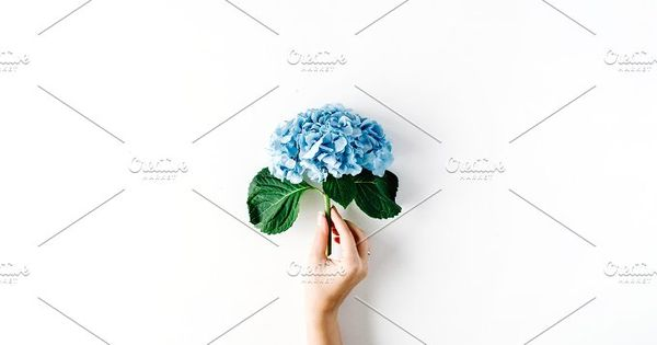 Beautiful hydrangea flower in girl's hand isolated on white background