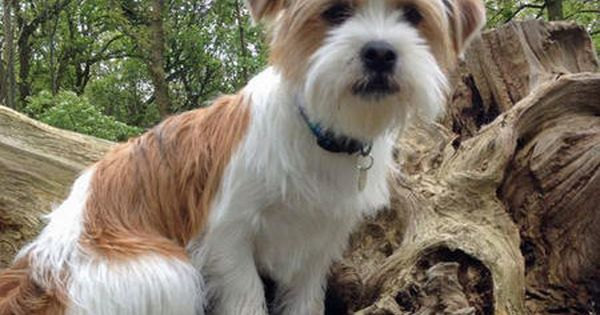 Bo The Jack Russell Mix Dog Breed Shih Tzu Jack Russell
