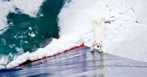 Polarbear Greenpeace activist tries to stop icebreaker ship.