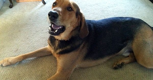 Copper The Hound Dog Mix Dog Mixes Hound Dog Pets