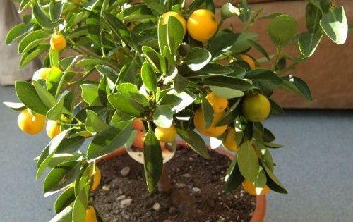 Comment faire pousser un citronnier dans une tasse lemon - Faire pousser citronnier ...