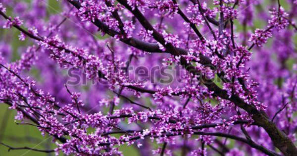 Flowering Tree Identification Purple Flowering Tree Stock Photo 17040256 Shutterstock Purple Flowering Tree Flowering Trees Purple Flowers