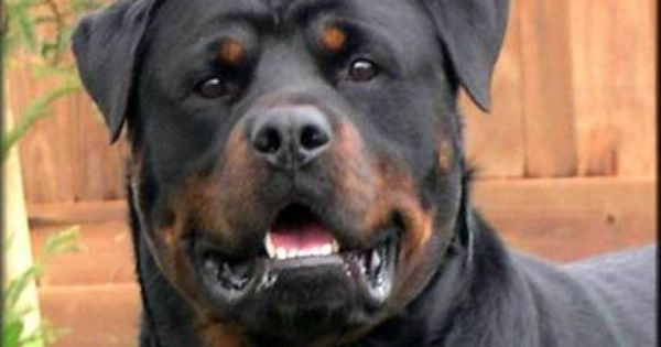 Gumtree Animals And Pets Dogs Rottweiler