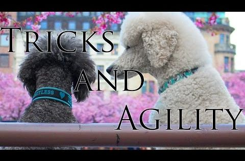 Brandy Iris Standard Poodles Tricks And Agility Youtube