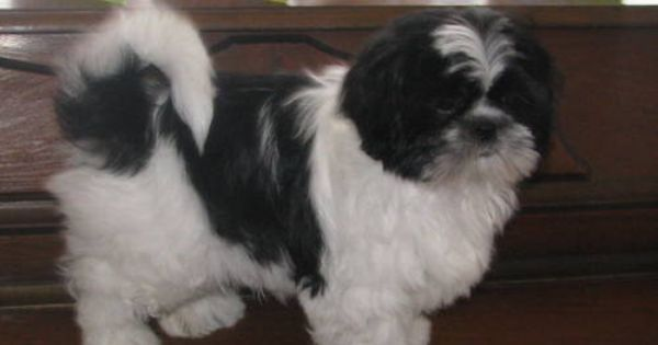 Adult Shih Tzu Pictures Google Search Animals
