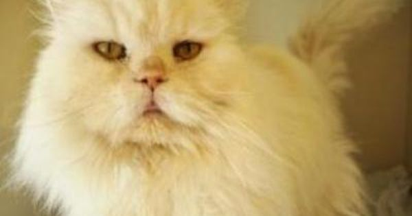 Washington Adopt Twinkie An 8 Year Old White Persian Who Wants To Be The King Of Your Heart Twinkie Would Be Happiest In Pets Humane Society Homeless Pets