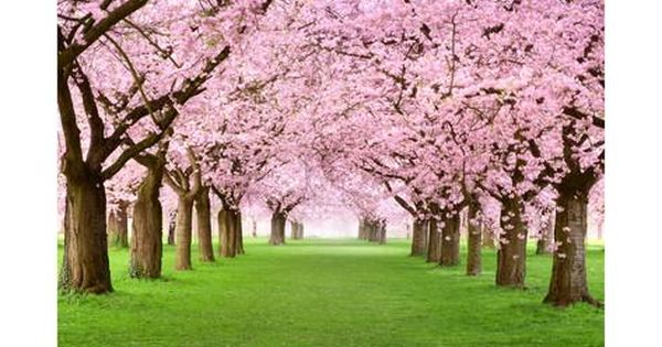Gourgeous Cherry Trees In Full Blossom Art Smileus Allposters Com Wall Mural Decals Tree Wall Decal Removable Wall Murals