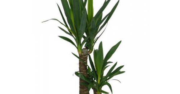 Plante d 39 int rieur yucca 2 troncs pot blanc for Plante yucca