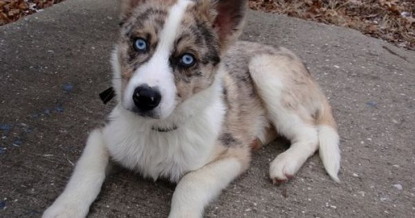 Log In Tumblr Australian Shepherd Husky Cute Dogs And Puppies Puppies And Kitties