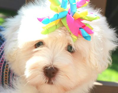 Photo Gallery Part Ii Havanese Puppies Photo Galleries Havanese