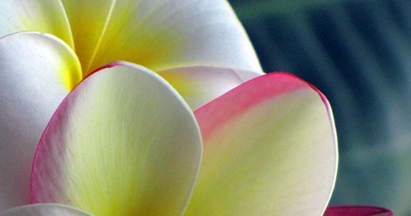 Plumeria freshens the air with a heavenly tropical floral scent --think notes