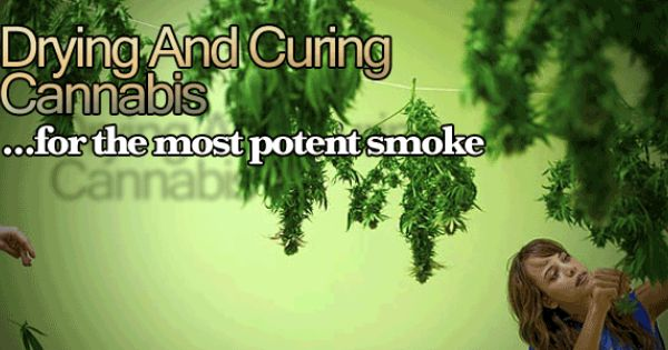 Drying And Curing ~ Drying and curing marijuana for the most potent smoke