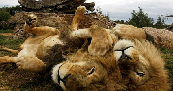 Amazing beautiful Lions
