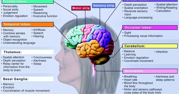 diagram showing different parts of the human brain and ...