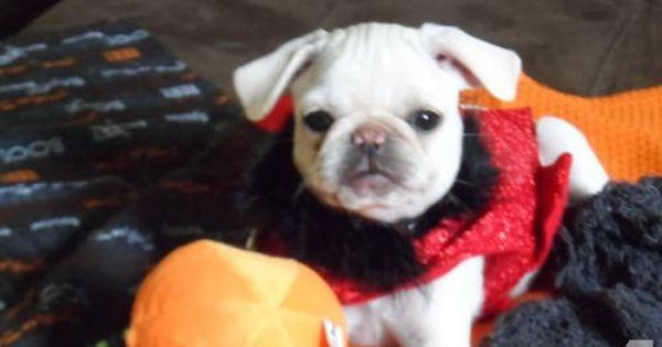 Rare Akc White Pug Puppies White Pug Pug Puppies Puppies