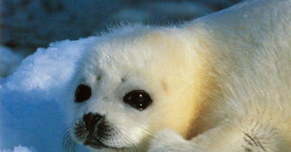 BEBE PHOQUE | À imprimer | Pinterest | Animal, Baby ...