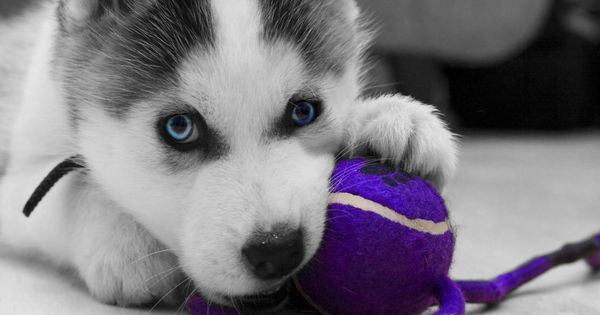 Siberian Pomsky HD Wallpaper 1080p Pets Pinterest