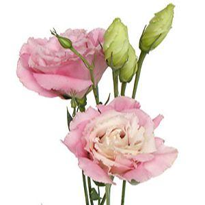 Light Pink Super Lisianthus Flower Lisianthus Flowers Pink Flowers Wedding Flowers Roses