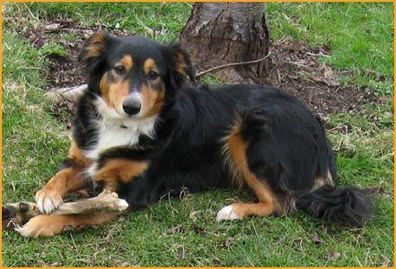 Glimmercroft English Shepherds English Shepherd Dog Breeds Farm Dogs