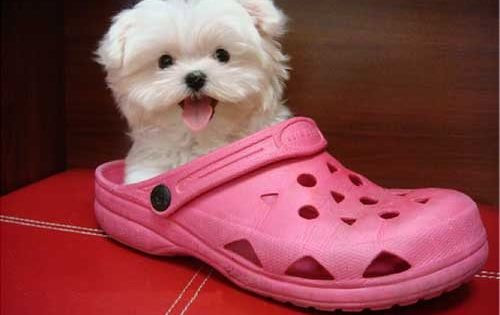 Baby Maltese Dog | Maltese Puppies