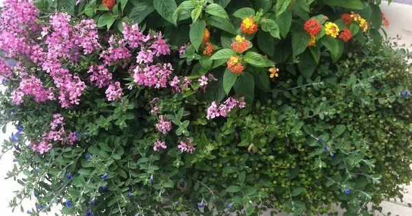 Rosemary Lantana Angelonia And Trailing Plants Make A